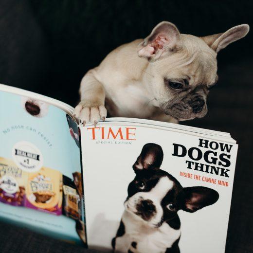 French Bulldog reading a magazine